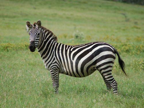 Perché le zebre hanno le strisce? Ecco spiegato il motivo