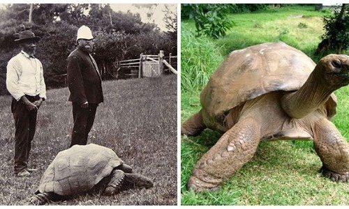 La tartaruga più vecchia del mondo è anche l'animale terrestre più vecchio al mondo