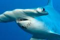 Perché lo squalo martello ha quella forma?